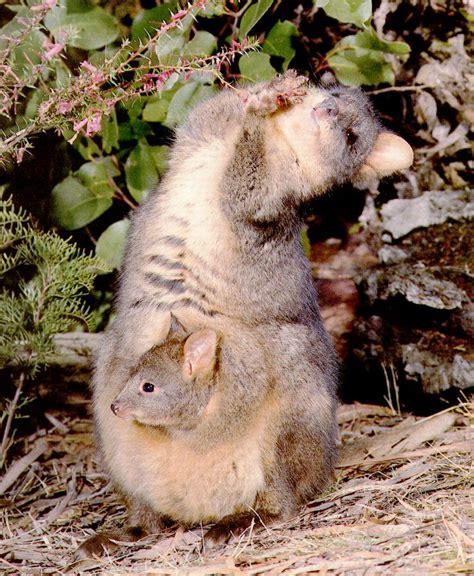 imagenes de animal wombat 僕のアメリカ移住スケッチbook 2010年06月