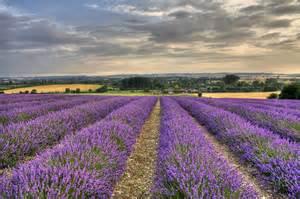 15 stunning photos of lavender fields around the world