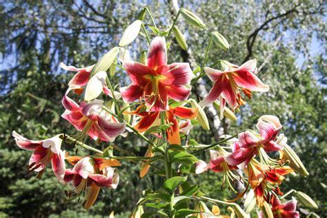 Garten Mit Sichtschutz 1478 by 2 40 M Hohe Kletter Baumlilien Lilium Im Garten 187 Majas