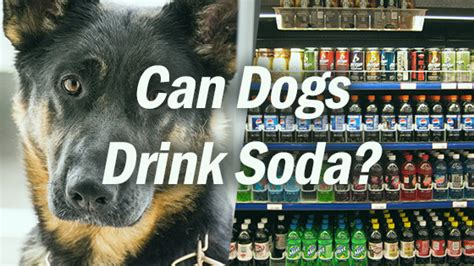 can dogs drink soda can dogs drink soda pet consider