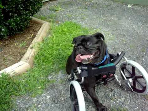pug in a wheelchair bernice the tripawd pug in eddie s wheels wheelchair