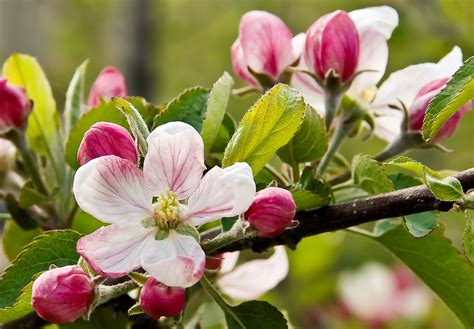 apple blossom feral poetry this body lush apple blossom