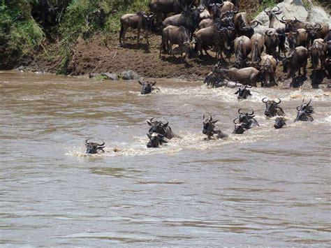 swing migration ultimate serengeti migration safari