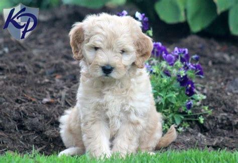 puppy doodle entertainment salomen miniature goldendoodle puppy keystonepuppies