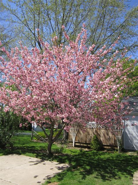 kwanzan flowering cherry tree outdoor spaces pinterest cherry tree and small trees