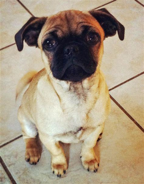 popular pug mixes the pug mix puppies daily puppy