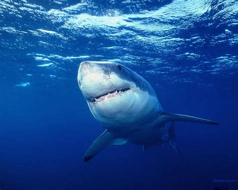 amazing great white shark facts great white shark photos