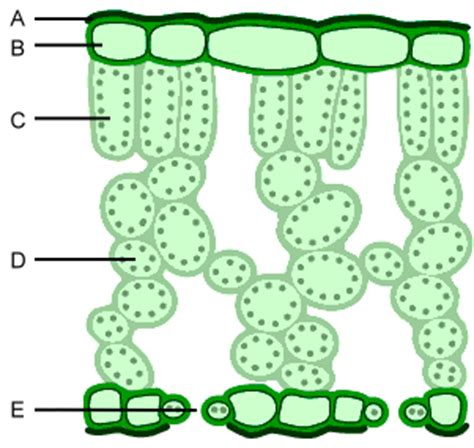 label the cross section of a leaf bbc gcse bitesize science leaves and photosynthesis test