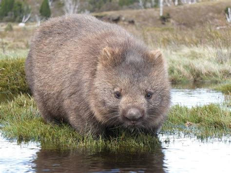 imagenes de animal wombat watch out for wombats southern highland news