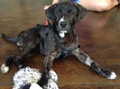 xena the warrior puppy thanks to donations will walk again