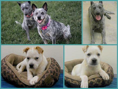 deaf dogs rock deaf dogs rock helps family of heeler pups deaf dogs rock