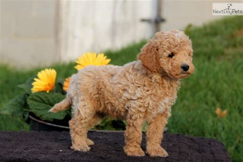poodle puppies for sale near me poodle miniature puppy for sale near lancaster pennsylvania 36198f7b c421