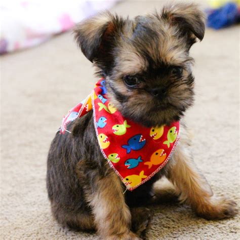 griffon puppies griffon bulldog puppies sweet puppy