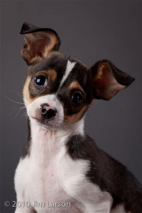 rat terrier chihuahua mix puppies rat terrier chihuahua mix puppies newhairstylesformen2014