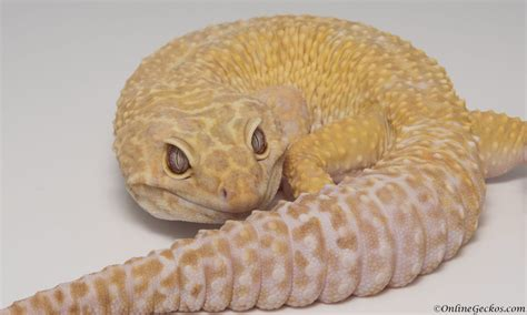 leopard gecko heat l can leopard geckos see red light reptile gallery