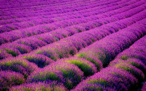 lavender plant landscaping wallpaper