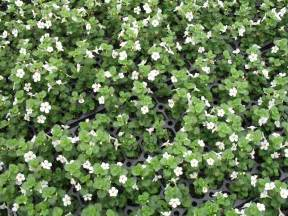 bacopa sutera plant images