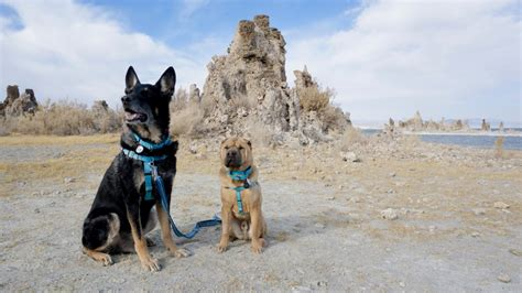 can dogs get mono visiting california s mono lake with dogs