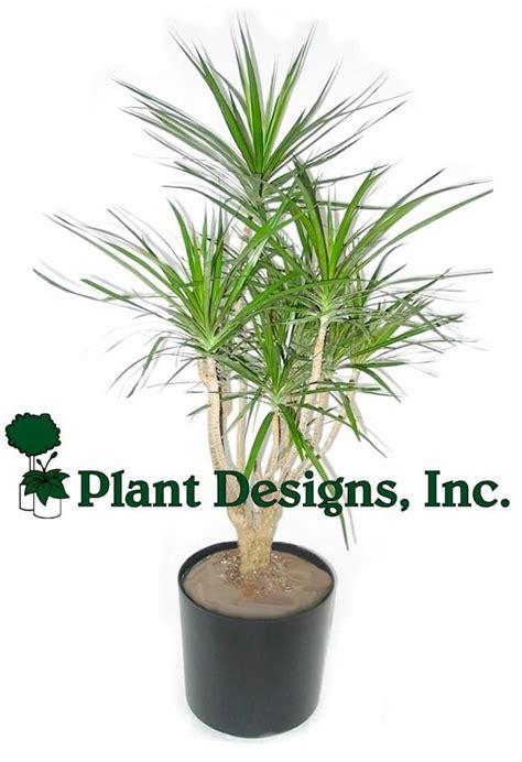 indoor palm trees indoor tree plants branched