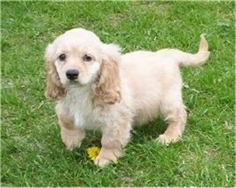 golden retriever cockapoo mix goldendoodle breed information and pictures