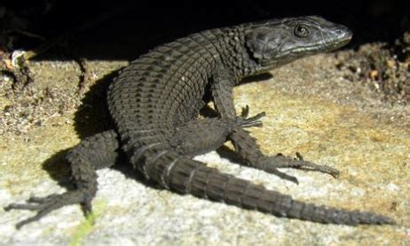 black girdled lizard reptiles world