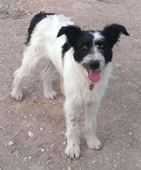 puppies boise bearded collie german shorthaired pointer mix for adoption http boise