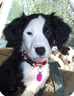 golden retriever puppies salem oregon aloha adopted puppy salem or springer spaniel golden retriever mix