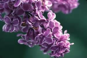lilac myplantscrapbook lilacs