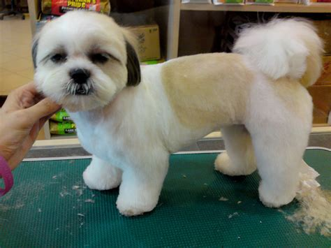 shih tzu puppy cut shear perfection shih tzus the spunky lovable breed