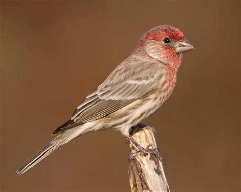 house finch lifespan red headed sparrow texas bing images