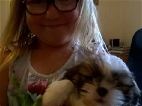 shih tzu for sale perth beautiful baby tzu for sale perth perthshire pets4homes