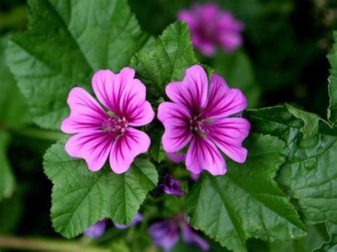 fiore di malva malva propriet 224 curative uso controindicazioni cure