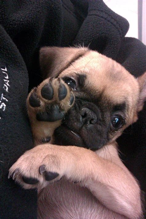 free puppies in columbus ohio best 25 chug ideas on pug mix chug puppies and pug mixed breeds