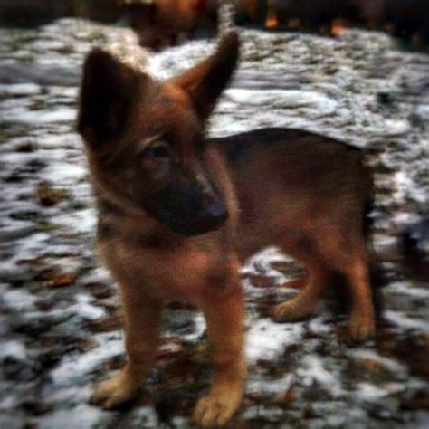 puppy in russian russia offers new puppy in solidarity after killed in raid nbc news