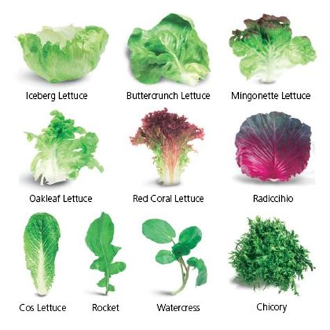 different types of lettuce healthy food for pre kindy pinterest different types different