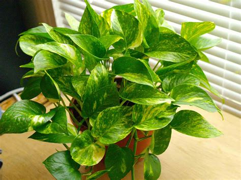 indoor vine plant house plant identification identifying indoor plants