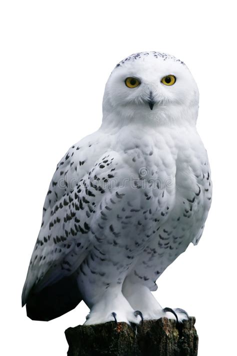snow owl  white background stock image image  eyeing