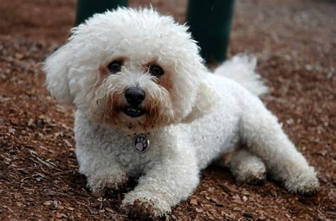 Bichon Shedding by Hypoallergenic Dogs 28 Dogs That Don T Shed