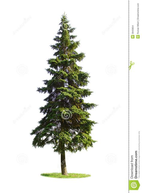 Christmas Tree Drawing by Giant Spruce Tree Stock Images Image 3943854