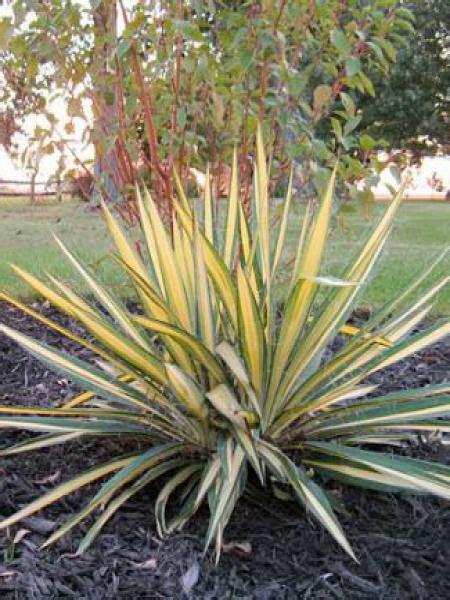 yucca color guard yucca filamentosa color guard yucca filamentosa le
