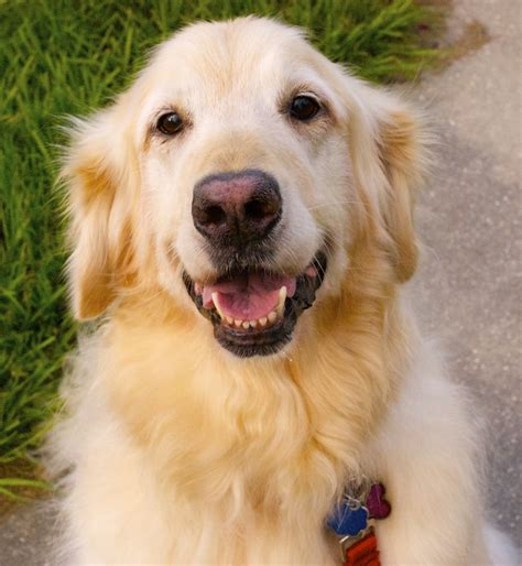 golden retriever age zoe janelle 3043 golden retriever rescue of mid florida