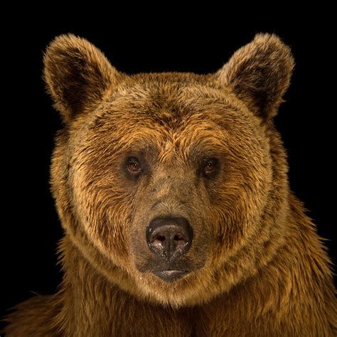 brown bear brown bear brown bear animal www pixshark com images galleries with a bite