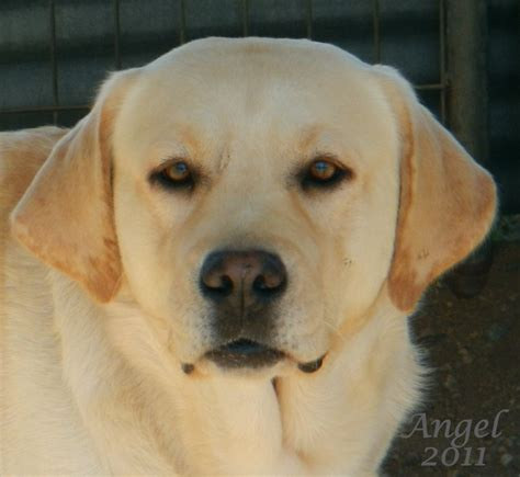 labrador puppies for sale northern california yellow lab puppies for sale in northern ca