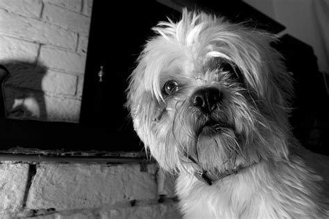 Eye Of The Shih Tzu In Photos Dot Org
