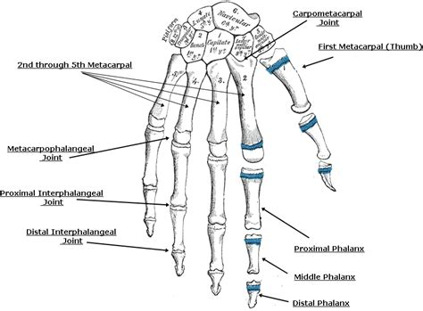 diagram of joints in the labelled diagram of bones and joints pictures
