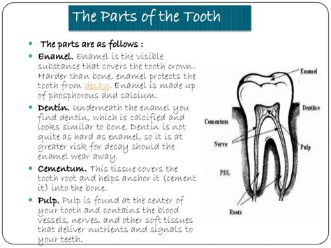diagram of types of teeth diagram showing the types of teeth gallery how to guide