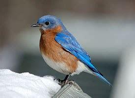 eastern bluebird identification all about birds