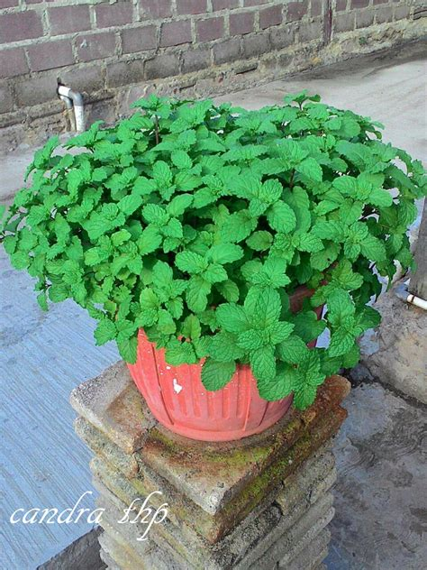 gimana cara membuat infused water bontangkreatif membuat teh daun peppermint