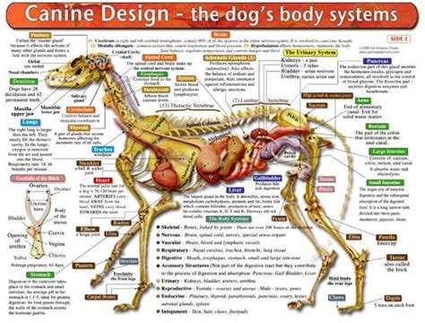 puppy anatomy 8 best images about woof where my dawgs at on paws and charts