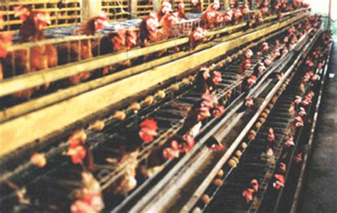 Vitamin Ayam Petelur Herbal cara ternak ayam ternak yang menguntungkan dalam waktu